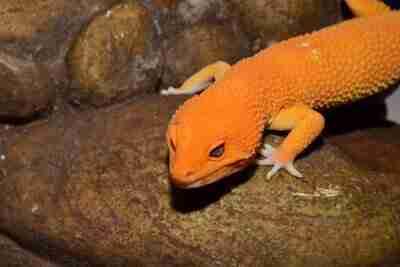 Leopard Gecko inside Vivarium habitat